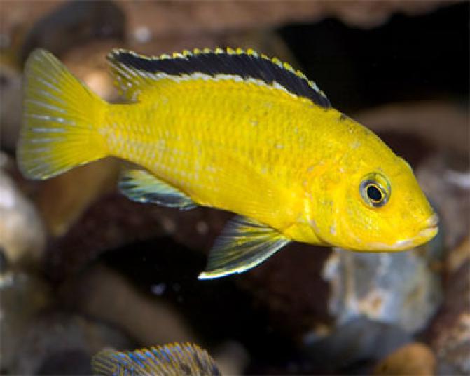 Pyszczak Yellow Labidochromis Caeruleus P Encyklopedia